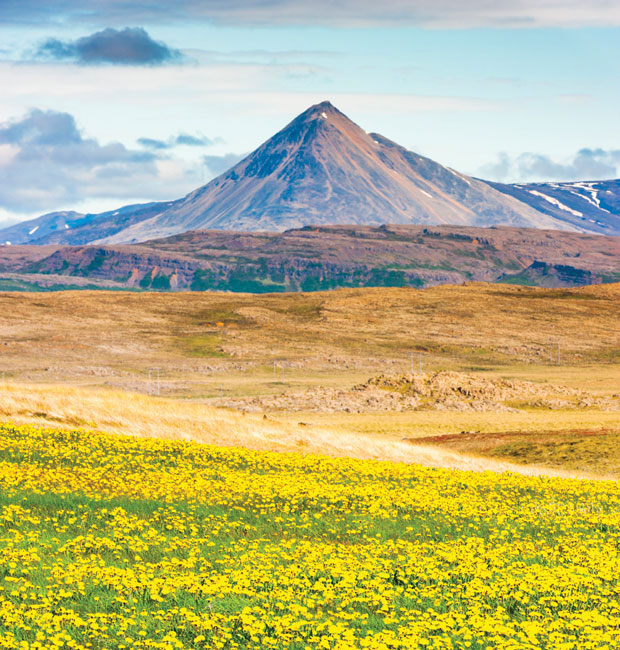 Icelandic field of fíflar